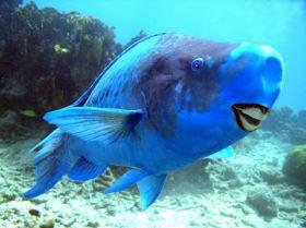 Blue Parrotfish – That Blue Fish!!