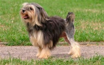 Ten most expensive dog breeds in the world